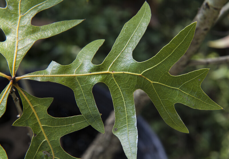 Shiny, Veined Turkey Oak Leaf