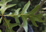 Shiny, Veined Turkey Oak Leaf
