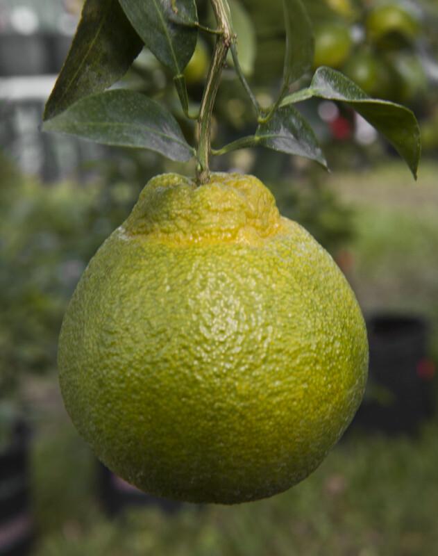 Shiranui Tangerine