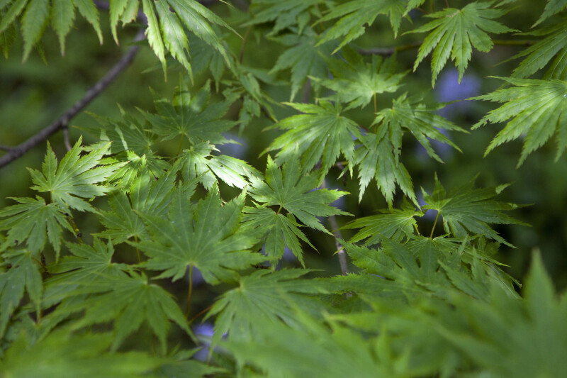 Shirasawa's Maple Leaves