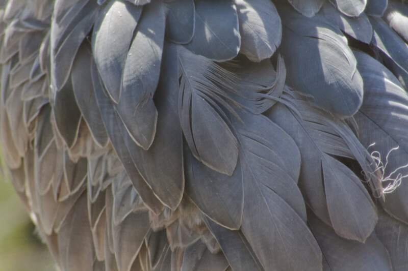 Shoebill Feathers