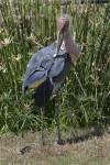 Shoebill Grooming