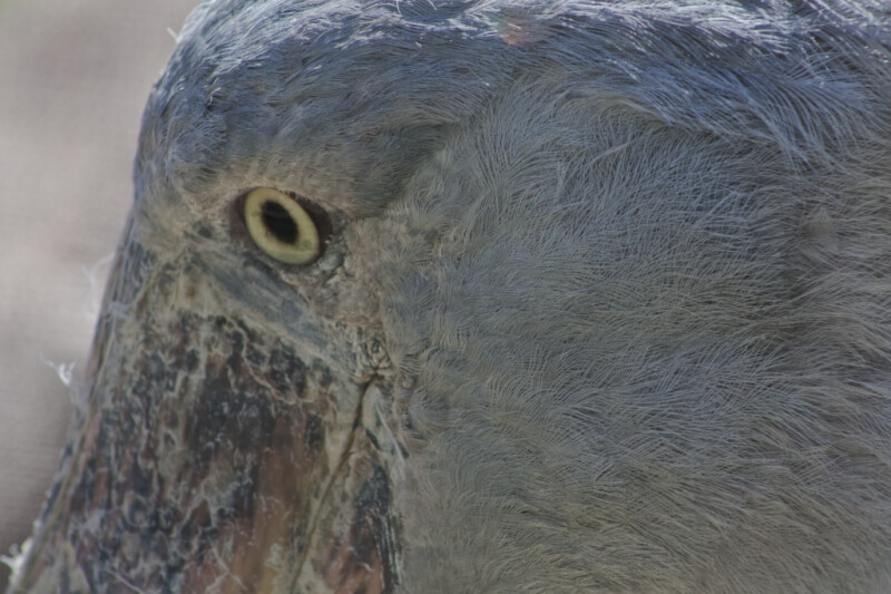 Shoebill Head
