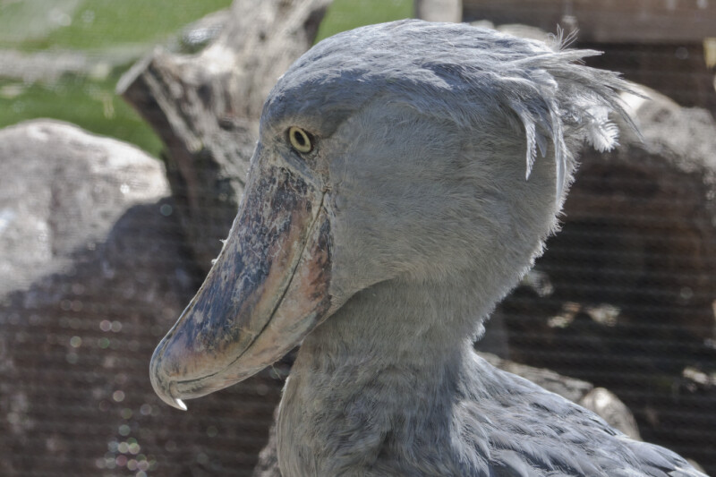Shoebill Side View