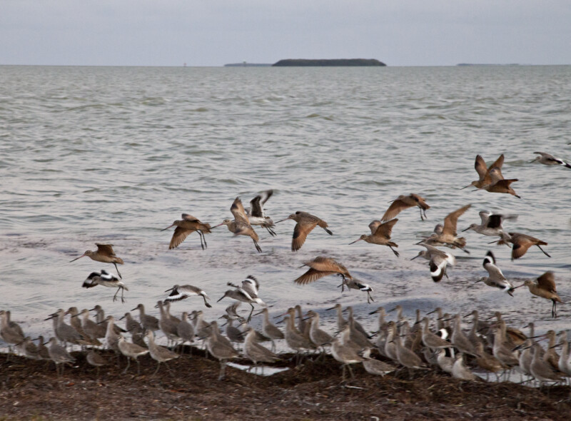 Shorebirds Returning from Flight