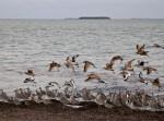 Shorebirds Returning from Flight