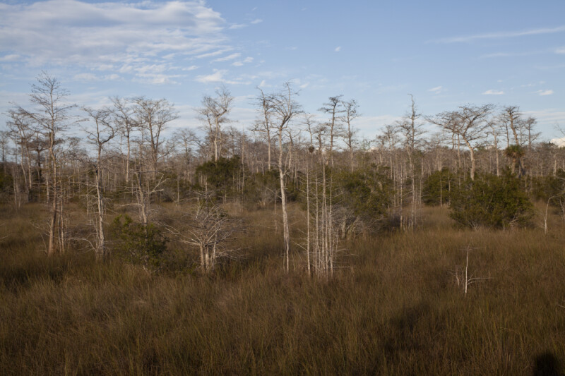 Short Shrubs, Dry Grass, and Bare Dwarf Bald Cypress Trees