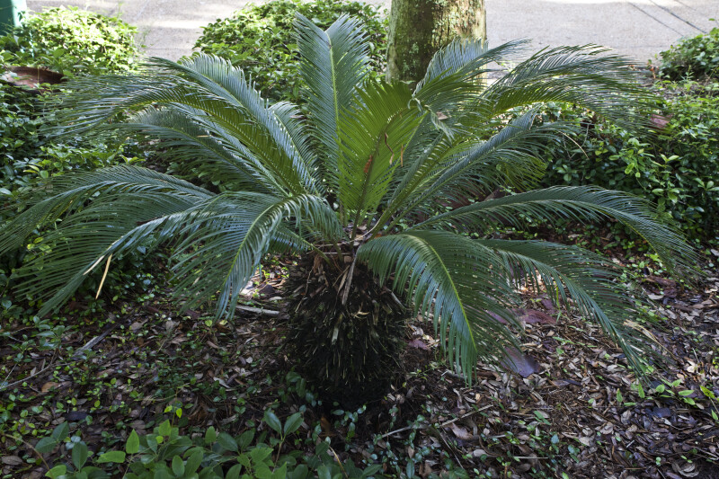 Short, Stout Cycad