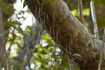 Shortleaf Fig (Ficus citrifolia) Aerial Roots