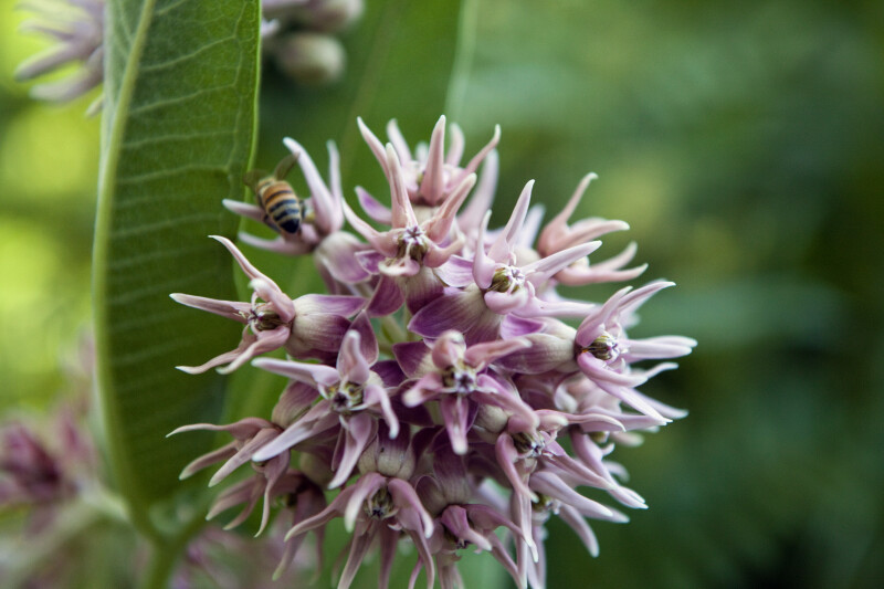 Showy Milkweed Detail