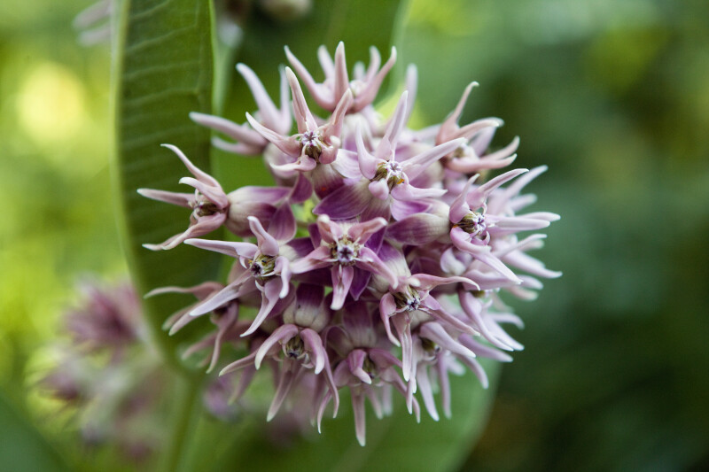 Showy Milkweed Flowers