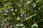 Shrub from the Mallow Family