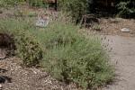 Shrub near Dry Mulch at the Sacramento Zoo