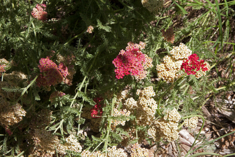 Shrub with Flowers of a Variety of Colors