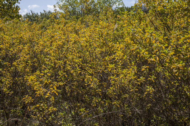 Shrub with Green and Yellow Leaves at Biscayne National Park