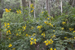 Shrub with Green Leaves and Yellow Flowers