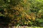 Azalea with Light-Orange Flowers