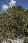 Shrub with Multiple Orange Flowers at Biscayne National Park