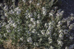 Shrub with Multiple White Flowers