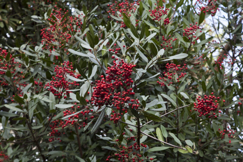 Shrub with Numerous Red Berries and Thin Leaves