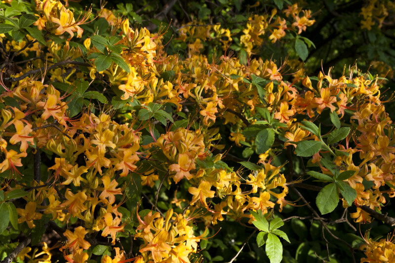 Azalea with Orange Flowers and Green Leaves