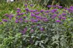 Shrub With Purple Flowers