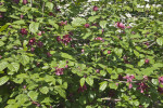 Shrub with Purplish-Pink Flowers and Glossy Leaves