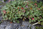 Shrub With Red and Green Leaves