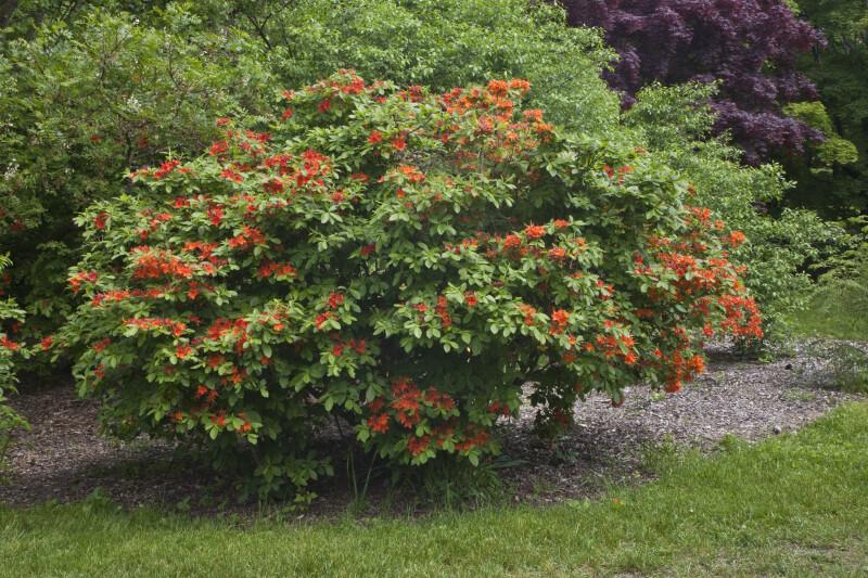 Shrub With Red Orange Flowers
