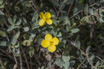 Shrub with Two Yellow Flowers