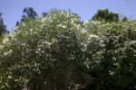 Shrub with White Flowers and Green, Narrow Leaves