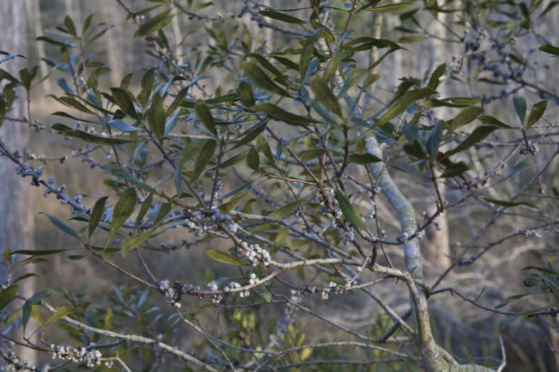 Shrub with Whitish-Blue Berries