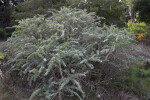 Shrub With Wiry Branches