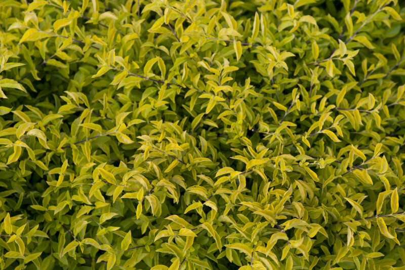 Shrub with Yellow-Green Leaves