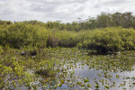 Shrubs, Aquatic Plants, and Water at Anhinga Trail of Everglades National Park