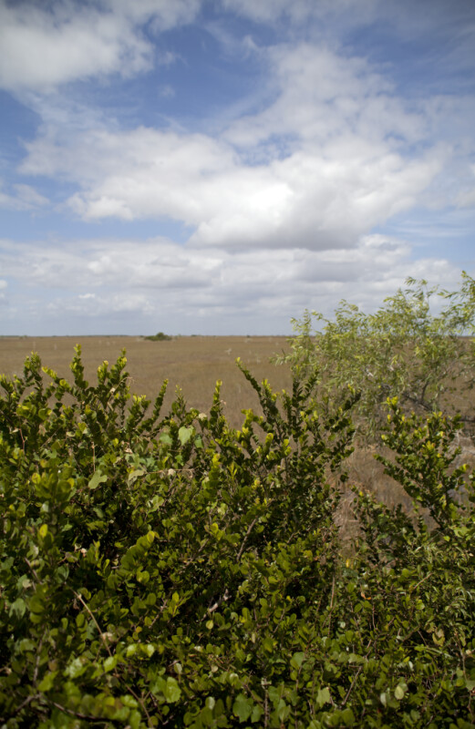 Shrubs at Pa-hay-okee Overlook of Everglades National Park