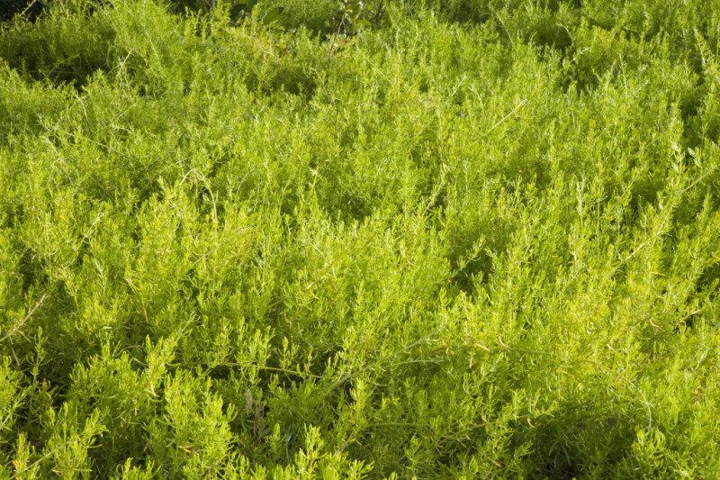 Shrubs with Bright-Green Leaves