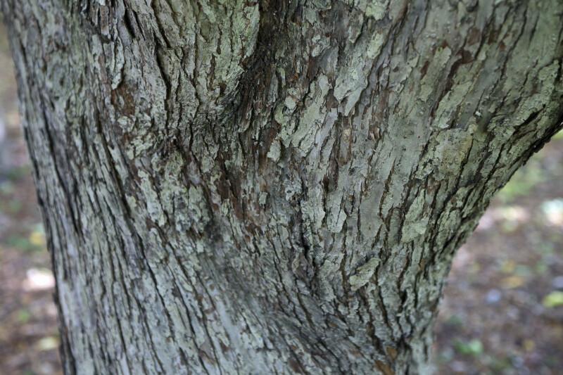 Siberian Crabapple Bark