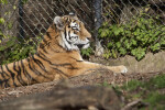 Siberian Tiger by Fence