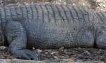 Side of Alligator