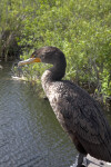 Side View of a Double-Crested Cormorant