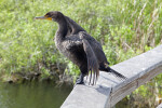 Side View of a Double-Crested Cormorant with its Wings Spread