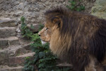 Side View of a Male Lion