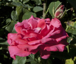Side View of a Pink Rose Flower