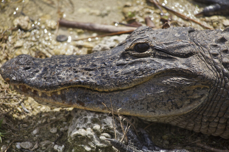 Side View of American Alligator Head