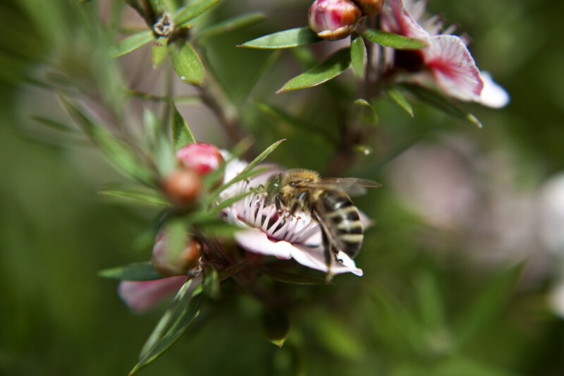 Side View of Bee on Leptospermum a Flower