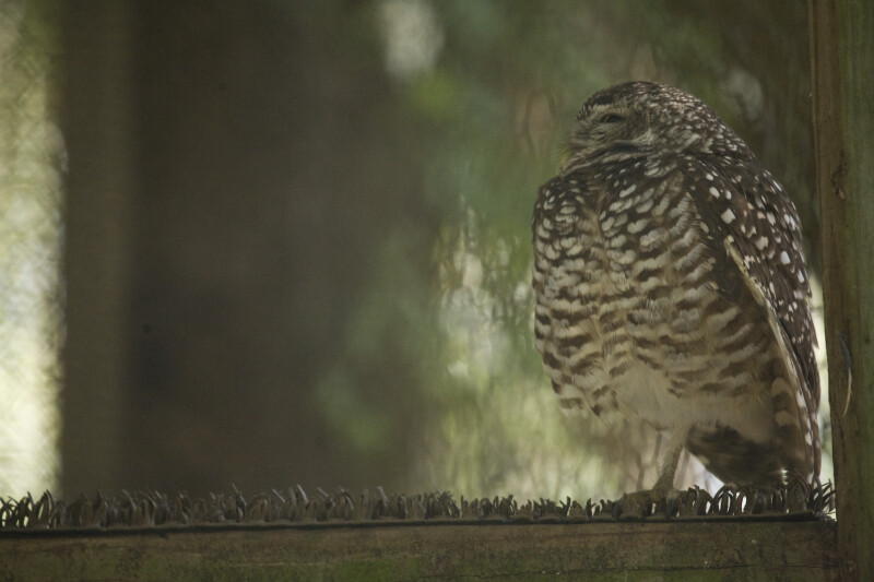 Side View of Burrowing Owl