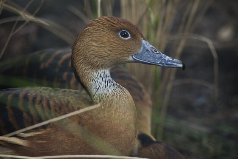 Side View of Duck with Brown Head and White Neck