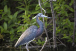 Side View of Little Blue Heron