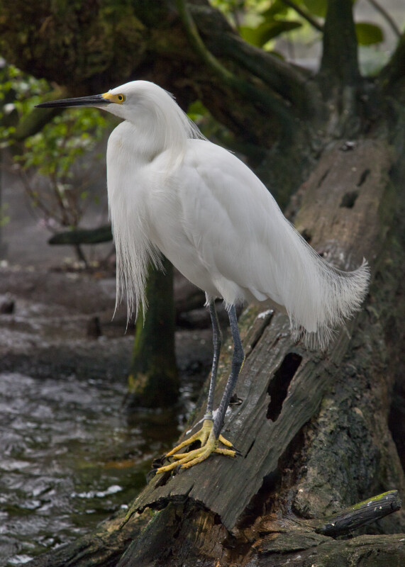 Side View of Snowy Egret at The Florida Aquarium